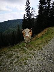 20180908Steiermark Rosenkogel02v16 Anstieg Kuh AngelikaMy (rerednaw_at) Tags: steiermark rosenkogel seckaueralpen kuh angelikamy
