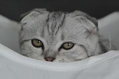 NUGGET                          1. (K.Verhulst) Tags: schotsevouwoorkat nugget kat poes pet huisdier cats cat kitten scottishfold