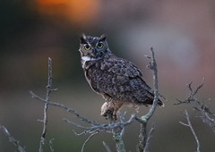 Great horned owl on a stick (charlescpan) Tags: