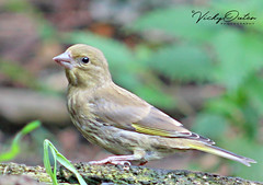 Juvenile greenfinch (vickyouten) Tags: greenfinch juvenilegreenfinch nature wildlife canon canon1300d leigh vickyouten penningtonflash