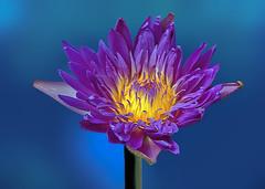 Nymphaea (12bluros) Tags: starofzanzibar tropical waterlily nymphaea waterlilypond water flower flora