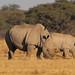 Ceratotherium simum (Square-lipped or White Rhinoceros)