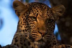 IMGP9656 Ray of sun (Claudio e Lucia Images around the world) Tags: ruaha national park tanzania africa leopard leopardo young feline cat big eyes tree pentax pentaxk3ii sigma sigma50500 bigma sigmaart pentaxart nationalgeographic africageographic animale