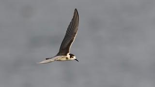 Black tern ~ Chlidonias niger (winter plumage)