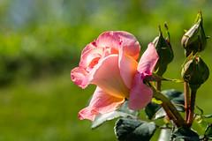 Rosengarten (Tommes80) Tags: blumen sonyalpha rose spätsommer vollformat