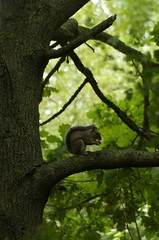 Checking for food (Explored 19-08-18) (Sundornvic) Tags: squirrel tree green nature shropshire english wildlife branch leaves animal