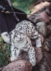 snow leopard for my Irbis ^^ (lukoshka) Tags: dollshe saint abjd bjd balljointeddoll bjdphoto dollphotography bjdboy knight toys castom irbis