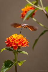 hummingbird hawk moth (rich lewis) Tags: macroglossumstellatarum hummingbirdhawkmoth macro macrophotography nature malta richlewis