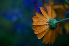 Droplets (Cederquist Christoffer) Tags: flowernatureflorablursummeroutdoorsgardenleafpetalbrightbloominggrowthcloseuplightfloralbeautifuldof ···············flowerperfectiontvflowersflowersloverssuperbflowersspringbeautifulflowerdailyblossombloomflowerigscflowersflowerpowerflowerofthedayphotographyfloralflowerloversnaturephotographynatureflowersflowerm ···············macrobrilliancedofdofaddictslovedofbrilliancedofnature ···············bokehandblurbokehblissbokehphotographybokehgraphbokehkingsbokehbokehfuldofaddictsnaturephotographymacrobrillianceflowersbokehshotzmoodygramsphotographybokehliciousbokehkillersdofbrilliancebokehadd ···············vscocammacrophotographyraindropletsdropletsofwaterraindropsartdesigndropletswaterdropletsrainnaturemacrodropletsofnature ···············macrobrilliancemacrosmacrohighlightmacromacrocliquemacrodramamacrophotographymacrospotlightmacroholicflowersandmacromacroperfectionmacrosecretsmacroworldtrmacrovisionmacromoodtopmacronaturemacro