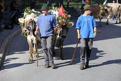 Look Right and Left (K M V) Tags: katsoensinoikealle lookright lookleft cows paimen paimenia herders alpabzug alpabfahrt flims lehmä lehmiä autumn herbst syksy höst lautomne autunno tradition perinne alpineculture switzerland schweiz suisse svizzera sveitsi ko kossor kor kuh kühe vache vaca mucche mucca