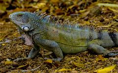 Animals. (ost_jean) Tags: reptile nikon d5200 1802000 mm f3563 ostjean caribbean iguana kralendijk bonaire reptiel