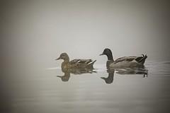 Foggy day swim (mtmelody14) Tags: