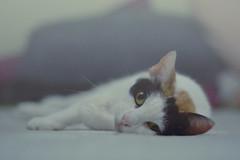 La petite impératrice (~Miel) Tags: cat pet kitty animal sweet cute fur sleepy white nikon noperson nikond5200 nikkor50mm nikkor photoshop postproduction