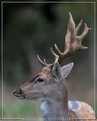 Fallow deer (buck) (GaseousClay1) Tags: fallowdeerbuck fallow deer buck damadama charlecotent