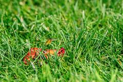 Wespe0001-2 (L@rio) Tags: wespe sommer apfel fallobst garten grün rasen