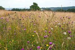 Meadows @ Emmetts Gardens (Adam Swaine) Tags: emmetts emmettsgdns meadows englishmeadows kent kentishlandscapes kentweald flora flowers wildflowers wilflowers england english englishlandscapes britain british summer beautiful canon counties countryside nationaltrust