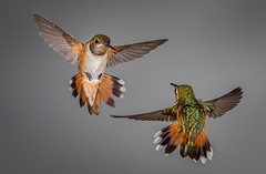 Rufous Hummingbirds face off (Eric Gofreed) Tags: arizona hummingbird mybackyard rufoushummingbirdhummingbird sedona villageofoakcreek multiflashphotography