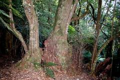 Pinkwood (Eucryphia moorei) (Poytr) Tags: monganationalpark braidwoodnsw cooltemperatearf cooltemperaterainforest eucryphiamoorei eucryphia cunoniaceae rainforest gondwana arfp nswrfp vrfp trfp dicksoniaantarctica dicksonia dicksoniaceae treefern softtreefern manfern forest