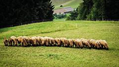 Schweizer Schafe (cs_one) Tags: pastoral sheep landscape herd nature pasture rural agriculture countryside summer livestock grass outdoors farm mammal farmland schafe field küssnacht schwyz schweiz ch