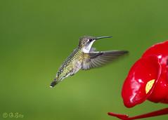 Female Ruby Throat (Swift Wings) Tags: femalerubythroat nature wildlife ontario birdinflight bif closeup wings green color rubythroatedhummingbird outdoors birdfeeder