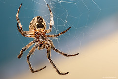Chicago Orb Weaver (dpsager) Tags: chicago dpsagerphotography illinois orbweaver spider insect vividstriking