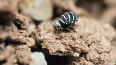 Video Fasciosminthurus quinquefasciatus (AquaNat-photo) Tags: collembola collembole springtail mesofauna hexapoda macrovideo dslr mpe65mm mpe symphypleona fasciosminthurus soilfauna insect