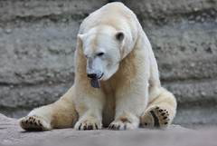 Bäh (Hugo von Schreck) Tags: hugovonschreck bär bear fantasticnature canoneos5dsr greatphotographers tamronsp150600mmf563divcusda011