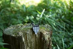 Paper Crane and Stump (Eridanus 21) Tags: ツルと切り株 paper crane stump origami 折り鶴 おりがみ ツル 折り紙 おりがみ写真 origamiphoto 切り株