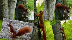 The Family Squirrel (ivlys) Tags: darmstadt garten minigarden eichhorn squirrel tier animal natur nature ivlys