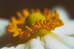 daughter of the wind (1crzqbn) Tags: japaneseanemone inmygarden 35522018 dof bokeh depthoffield nature shadows sunlight light white yellow bloom