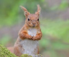 Red Squirrel (KHR Images) Tags: redsquirrel sciurusvulgaris wild mammal rodent dumfriesandgalloway scotland nature wildlife nikon d500 kevinrobson khrimages
