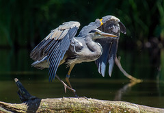 Heron (RobLesliePhotography) Tags: leica100400mm g9