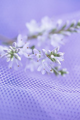 hebe (borealnz) Tags: hebe flowers lavender net pastel pretty delicate soft