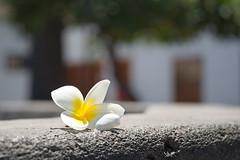 Plumeria alba (uwe1904) Tags: kanarischeinseln lapalma pentaxk1 spanien urlaub uwerudowitz es blume frangipani bokeh pflanze flower