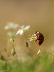 Ladybird......lieveheersbeestje (Manon van der Burg) Tags: happydays tochnog1 sigma105mm canon80d macro depthoffield indesettinggeland roodmetzwartestippen inmygarden macrolover macrophotography beetle ladybug ladybird lieveheersbeestje