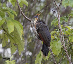 Pava hedionda- Opisthocomus hoazin - HOATZIN (Carlos Alberto Arias A.) Tags: pava hedionda hoazin hoatzin canon7d markii ef600mm f4l is ii usm air fresh bird birdphotography naturephotography nature parque arawana puerto lopez meta colombia opisthocomus naturaleza