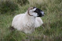 Isle of Skye: Islander (Helgoland01) Tags: scotland schottland uk skye westernisles innerhebrides tier animal schaf sheep