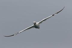 Gannet in flight 3 of 4 (Robin M Morrison) Tags: gannet inflight boat sea brixham lyme bay berryhead