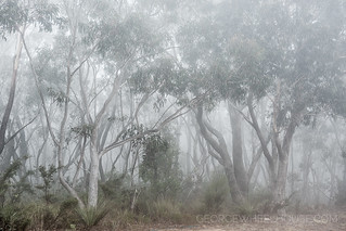 Eucalyptus Forest #4