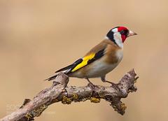 Goldfinch (KevinBJensen) Tags: ornithology animal wildlife birds animals bird wild beautiful beauty