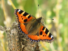 Small Tortoiseshell (sam2cents) Tags: butterfly smalltortoiseshell nature wildlife wicklow ireland lepidoptera