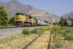 Autumn Sunflowers (Josh 223) Tags: unionpacific evanstonsubdivision diesellocomotive railroad railway train graintrain coveredhoppers uintah utah up