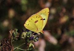 Hufeisenklee-Gelbling (Colias alfacariensis) (Hugo von Schreck) Tags: hugovonschreck schmetterling butterfly macro makro insect insekt canoneos5dsr hufeisenkleegelbling coliasalfacariensis tamron28300mmf3563divcpzda010
