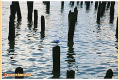 TENGA PACIENCIA AMIGO FOTÓGRAFO. HAVE PATIENCE FRIEND PHOTOGRAPHER. NEW YORK CITY. (ALBERTO CERVANTES PHOTOGRAPHY) Tags: animal seagull gaviota river lake sea agua ave pajaro bird zoo zoologico air flight flying ibdoor outdoor blur retrato portrait photography streetphotography photoborder wildlife luz light color colores colors brightcolors brillo bright seaside beach water wood post