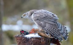 Goshawk : Scotland (Chas Moonie-Wild Photography) Tags: goshawk wild scotland accipiter gentilis female hawk raptor woods