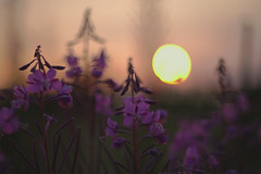 Épilobes (Patrice StG) Tags: québec gimp fleur flower bokeh backlit contrejour côtenord northshore sunset sun soleil coucherdesoleil couchant pentax pentaxart kp