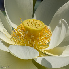 Lotus elegance (Irina1010) Tags: lotus flower white pistil stamen macro light petals nature beautiful canon