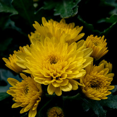 Chrysanthemen 03 (p.schmal) Tags: olympuspenf olympus60mmf28makro hamburg farmsenberne chrysanthemen