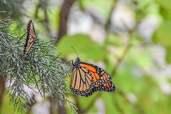 DSC_9994 (greenjay2) Tags: butterflies insects monarchdanausplexippus