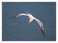 Ol' Blue Eyes [explored 13.09.18] (mandysp8) Tags: bluesea birdflight bemptoncliffs gannets rspb uk england